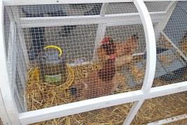 Arrivée des poules au cœur de l'école